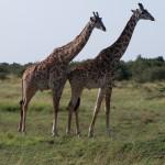 Tarangarie, Serengeti, Ngorogoro Crater and Masai Mara 085